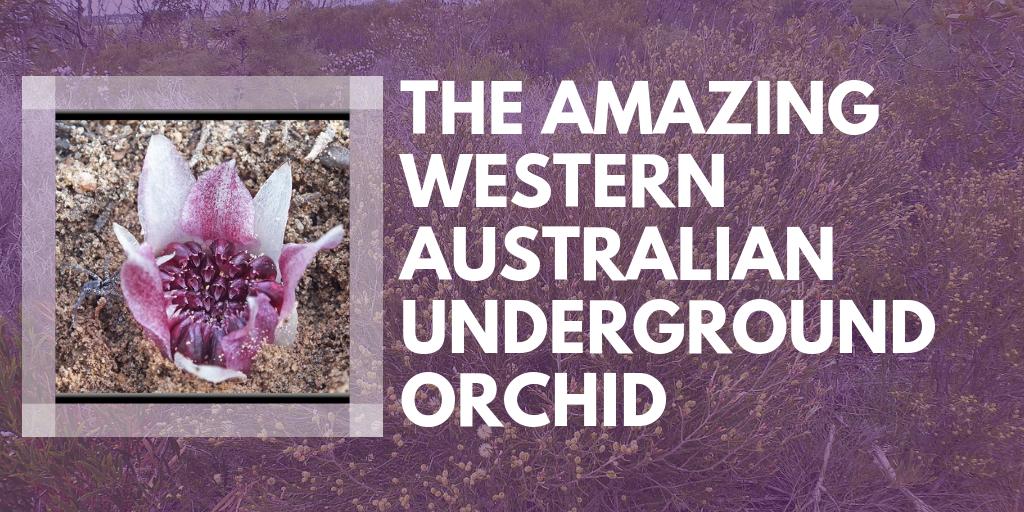 The Amazing Western Australian Underground Orchid