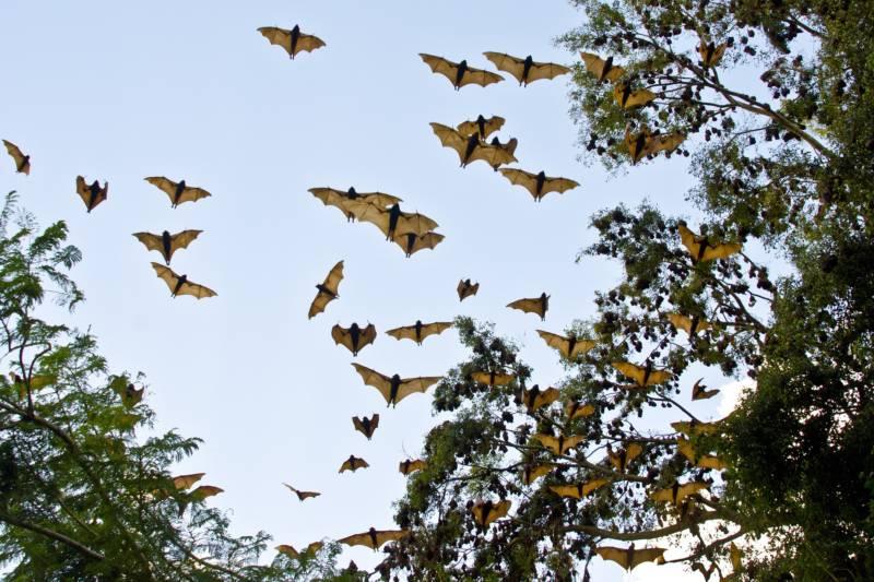 Australia Bats