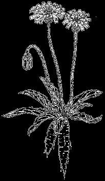 Yam Daisy - Murnong Drawing