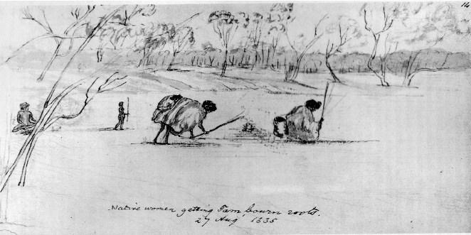 Aboriginal Yam Harvesting
