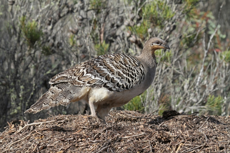 Malleefowl National Recovery Plan