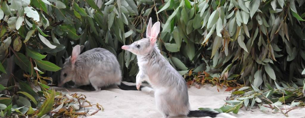 Two Bilby's