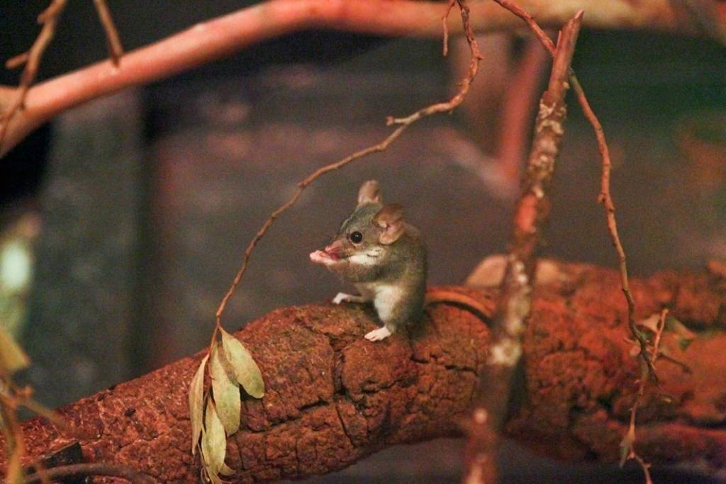 Red-tailed Phascogale eating an insect