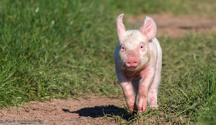 World Animal Day - Pig