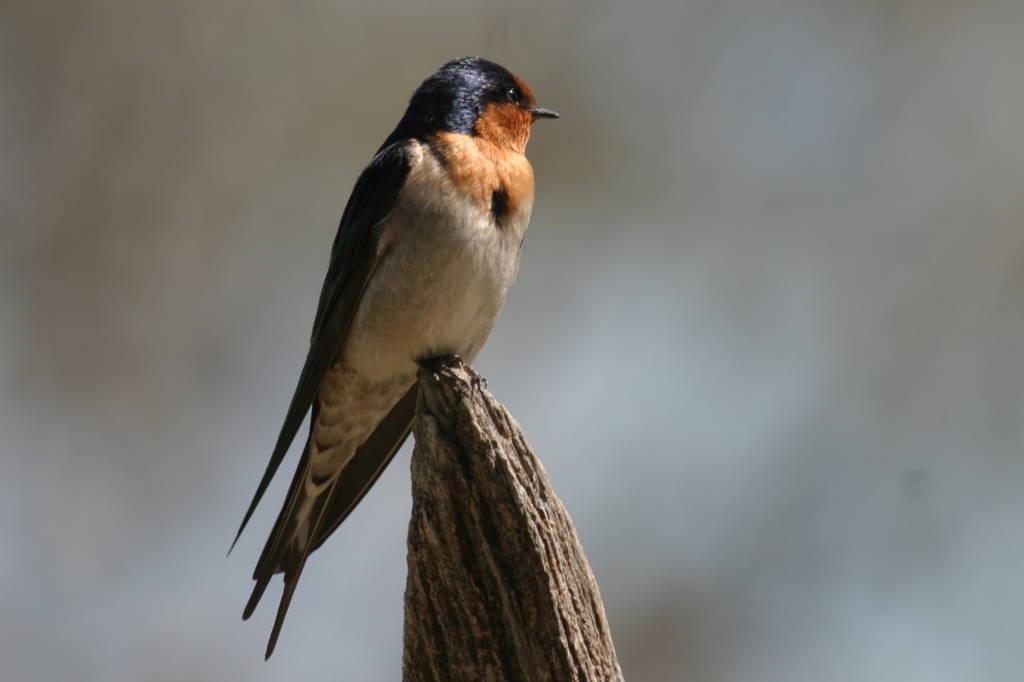 Unique Birds of Australia - The Aussie Backyard Bird Count ...