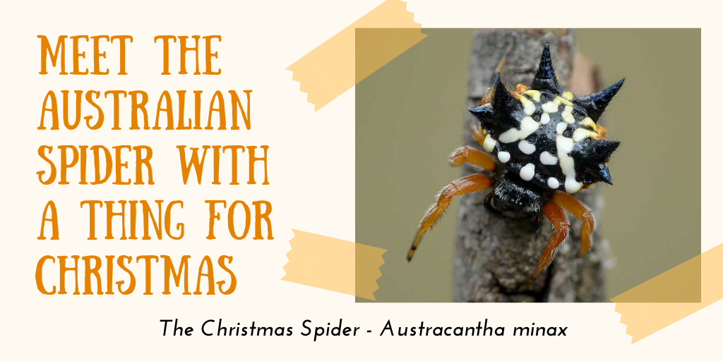 Meet the Australian Spider with a thing for Christmas – The Christmas Spider – Austracantha minax