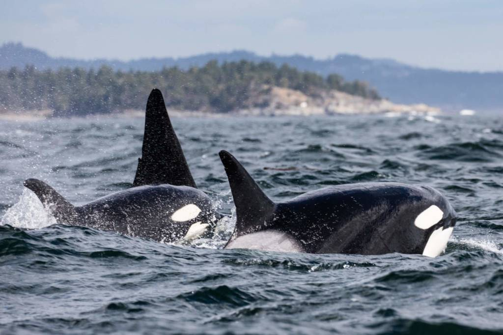 Text Box: Figure 7: Killer whales (Orcinus orca) in the Wild