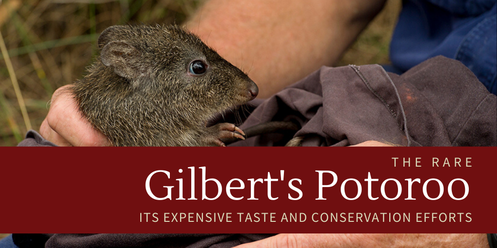 The rare Gilbert's Potoroo, its expensive taste and conservation efforts