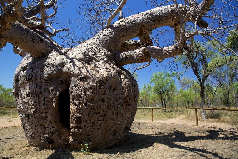Heritage Listed Boab Tree