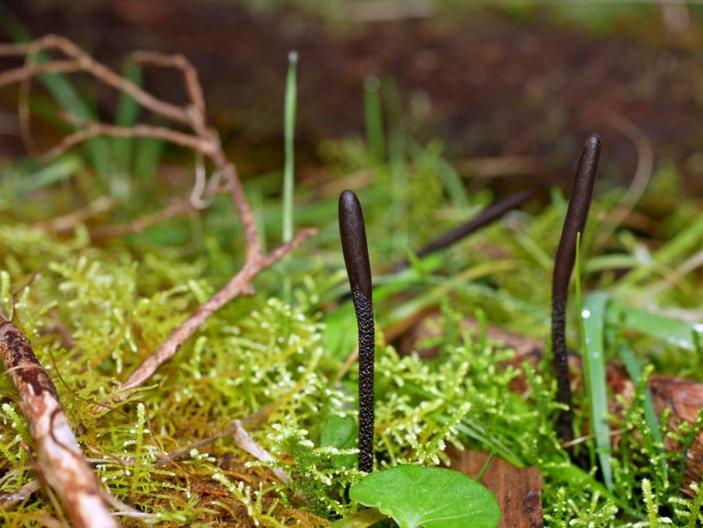 Earth Tongues Fungi